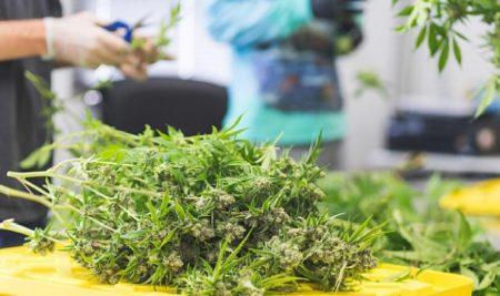 Job-seeker interest spiked ahead of legalization of marijuana