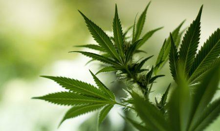 Marijuana monopolies