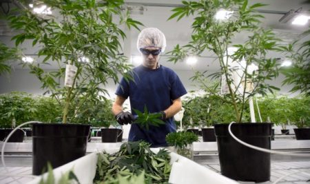 More-workers-testing-positive-for-marijuana-450x267