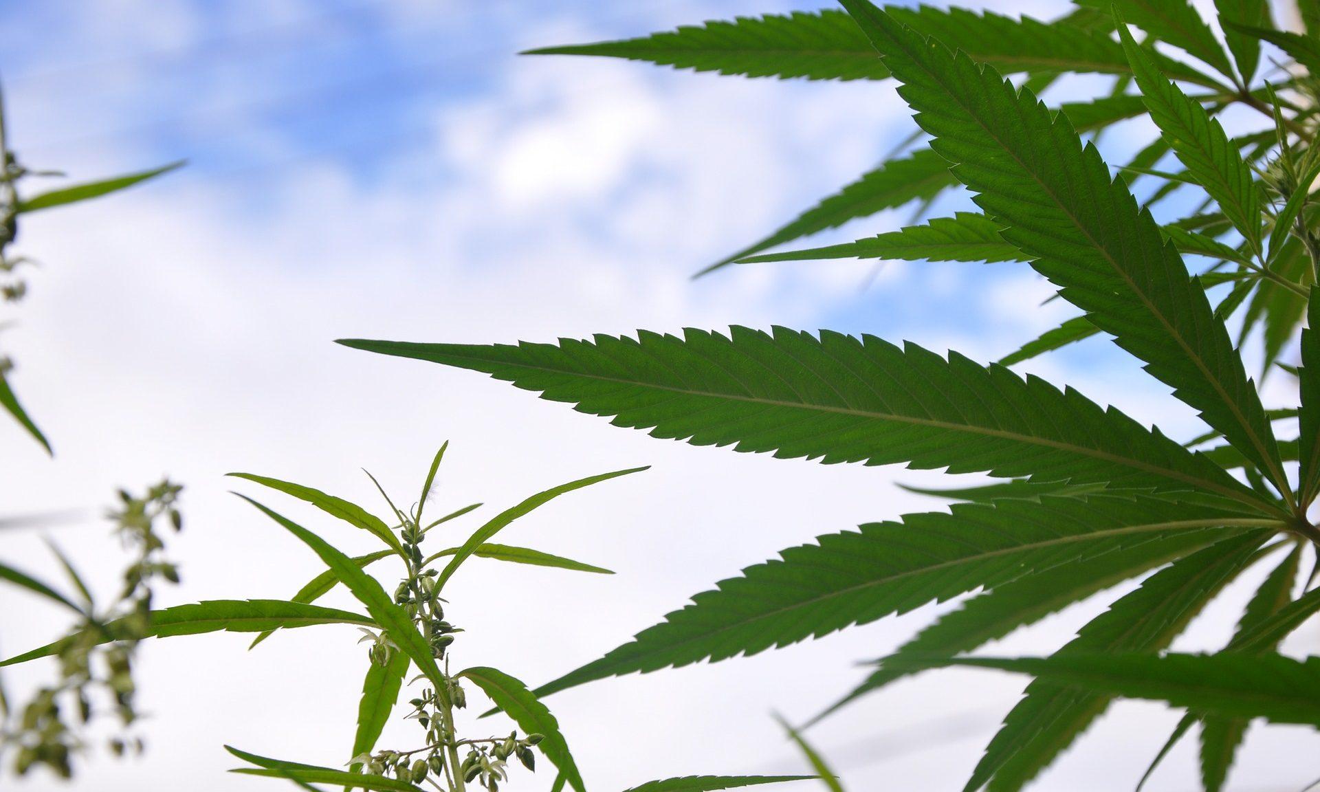 MaxPixel.freegreatpicture.com-Grass-Plant-Marijuana-Nature-Leaf-Hashish-3364697-e1549572889614
